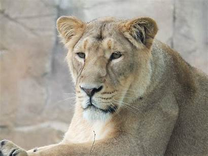 Lion Cat Breed Dog Cats Puma Lioness