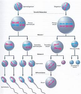Meiosis Interactive Study Guide