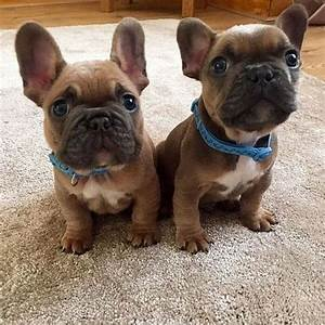 Cute French Bulldog Puppies With Blue Collars | LuvBat