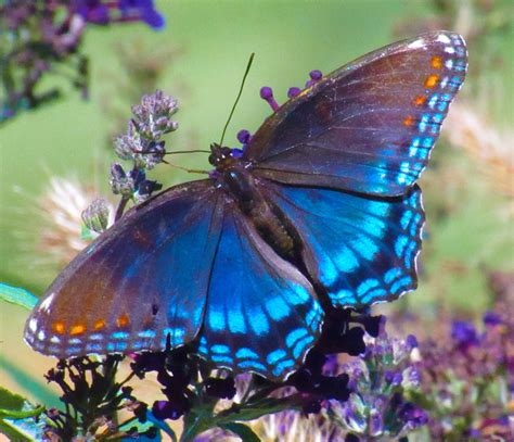 red spotted purple butterfly birds  blooms