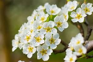 Weiß Blühender Strauch : kostenlose foto baum natur ast bl hen wei frucht ~ Lizthompson.info Haus und Dekorationen