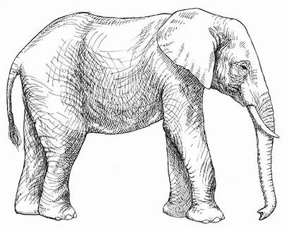 Elephant Coloring Pages African Asian Elephants Drawings