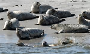 Rd Stands For by Bestandsrekord So Viele Seehunde An K 252 Ste Wie Seit Jahren