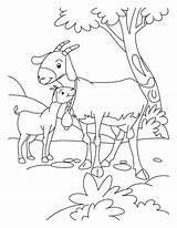 Goat Coloring Goats Farm Animal Billy Gruff Three Kid Animals Boer Printable Template Sheets Colouring Clipart Mom Templates Desenho Cabra sketch template