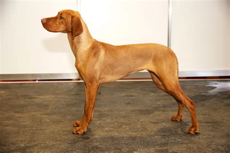 Do Vizsla Dogs Shed by Intriguing Facts About The Intelligent Vizsla Breed