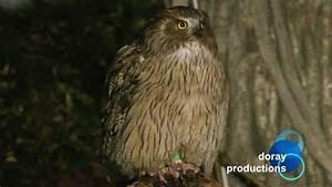 Blakiston's Fish Owl - YouTube