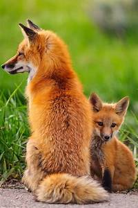 baby red fox with mommy :) | Who's Your Mommy?! | Pinterest