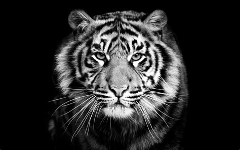 animals tiger predator black  white