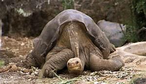 Giant Endangered Tortoises Released On Pinta Island Galu00e1pagos