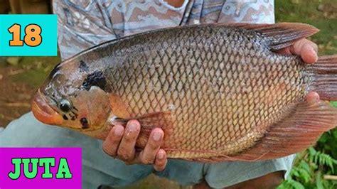 Distributor Peternakan Ikan Gurame cara budidaya ikan gurame lengkap analisa pembesaran