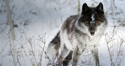 Black And White Wolf Wallpaper by Black And White Wolf 9 Free Wallpaper Hdblackwallpaper
