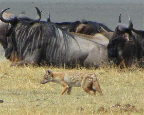 filegolden wolf navigating wildebeest ngorongorojpg
