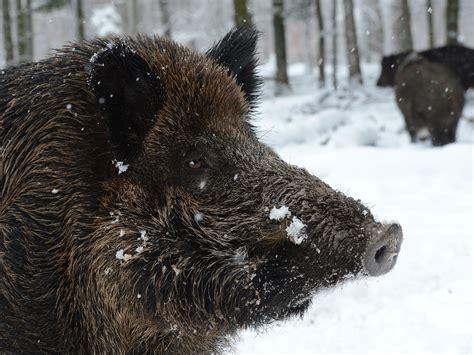 Radioactive Wild Boars Rampaging Around Fukushima Nuclear
