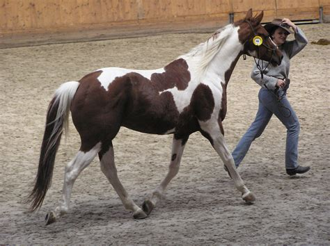horse paint american skewbald colors horses tobiano file breeds brown breed wikipedia commons information overo vs bay chestnut painted tovero