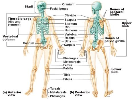 axial skeleton definition functions  pictures body