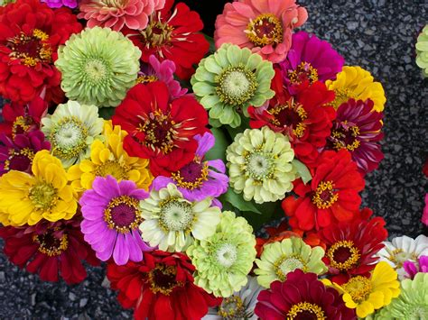 pics of zinnias file zinnia bunch jpg
