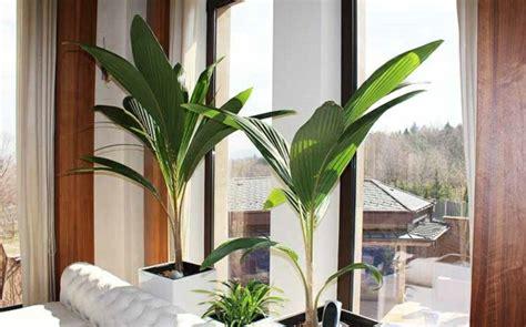 kokospalme ist eine bewundernswerte gruenpflanze fuers zuhause