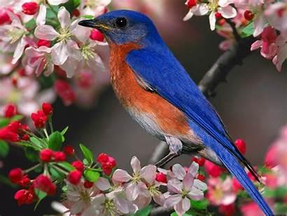 Bird Tree Birds Wallpapers Bluebird Cherry Birdhouse