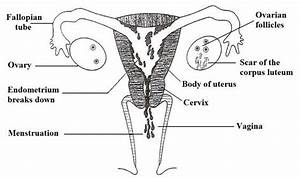 Events In The Uterus  U0026 Ovary In The Cycle  What The Woman