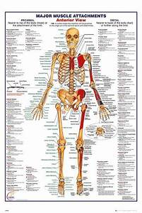 Human Body Muscle Attachments Anterior Photo At Allposters Com