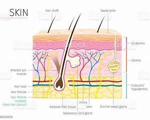 Human Anatomy Skin And Hair Diagram Stock Illustration