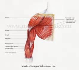 Anterior Upper Arm Muscle Anatomy