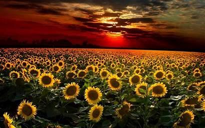 Sunflowers Sunset 4k