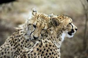 Why Cheetahs Might Be Moving Quickly Toward Extinction