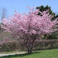 Planter Un Cerisier : cerisier fleurs du japon prunus 39 accolade 39 arbres et ~ Melissatoandfro.com Idées de Décoration