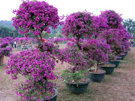 planting bougainvillea in pots how to grow bougainvillea in pots the specimen below is not 20 it s a perspective