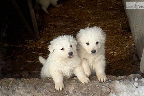 maremma sheepdog  sale    kalamazoo