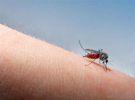 home remedies  mosquito bites healthdigeztcom