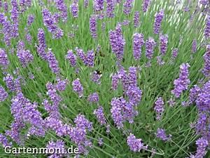 Verholzten Lavendel Schneiden : die besten 17 ideen zu lavendel pflanzen auf pinterest ~ Lizthompson.info Haus und Dekorationen