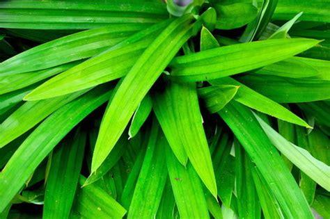 pandan leaf the amazing health benefits of pandan leaf tea omtimes writer s community
