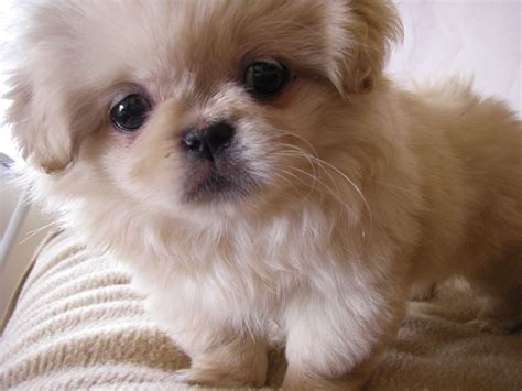 pekingese small dog breed breeds  small dogs
