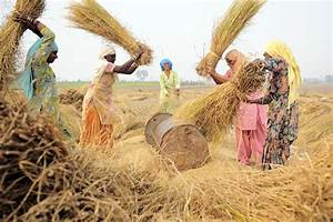 Rice Threshing In India