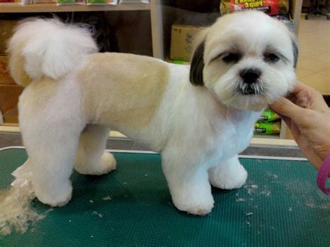 Dog Grooming Teddy Bear Cut Photo