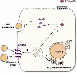 Extracellular Lipid Free Apolipoprotein E Inhibits Hcv