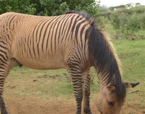 brown zebra print zorse equus zebra x equus caballus animals a z animals
