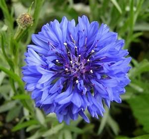 Blue Cornflower   www.imgkid.com - The Image Kid Has It!