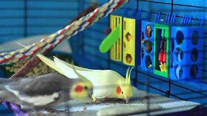 Bird Happy Cockatiel Care Training