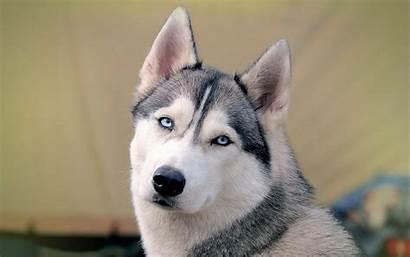 Huskies Husky Puppies Cool Hivewallpaper