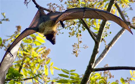 Fruit Bats Are Our Friends