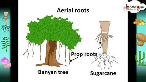 scinece root system  root modifications hindi youtube