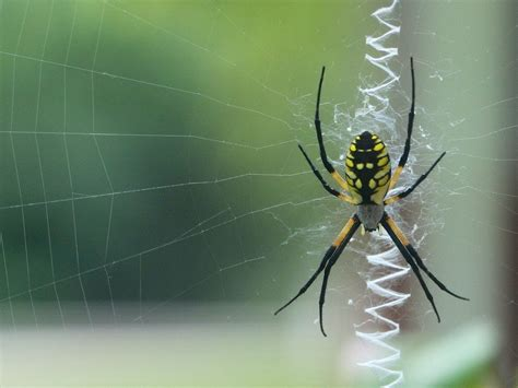 Female Argiope Aurantia (black And Yellow Garden Spider
