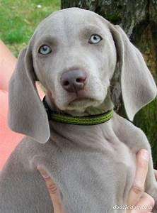 Weimaraner-Puppy-2.jpg | Furry Friends | Pinterest ...