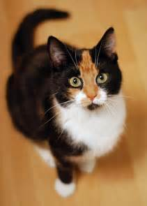 calico cat 25 best ideas about calico cats on fluffy