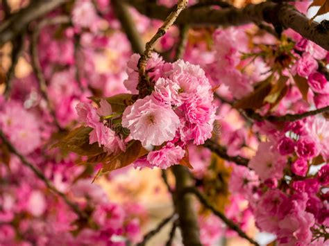 Pink Flowers Branches Of Japanese Cherry Tree Stock Image