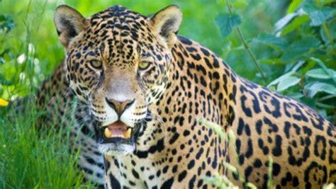 amazing jaguar habitat amazing facts about jaguars onekindplanet animal