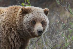 grizzly — Wiktionnaire  Grizzly